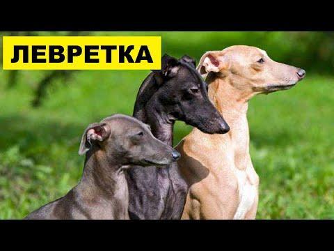 Левретка описание плюсы и минусы породы | Собаководство | Порода собак левретка