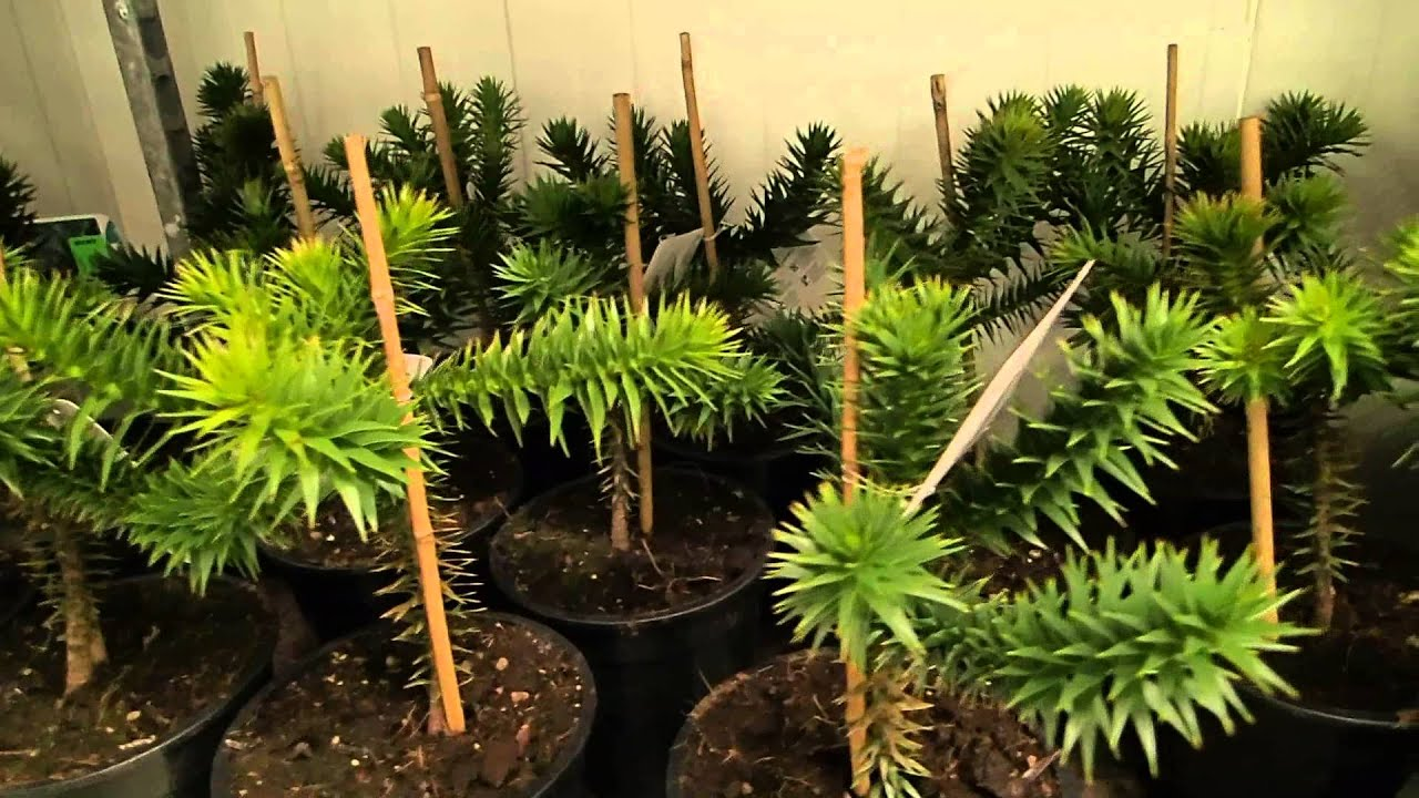 araucaria araucana youtube