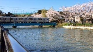 佐原 両総用水の桜