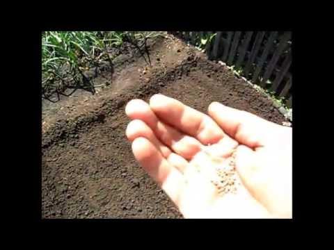 Посев редьки, репы и дайкона  8 июля