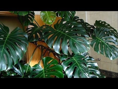 Philadendron plant how to grow and care for.