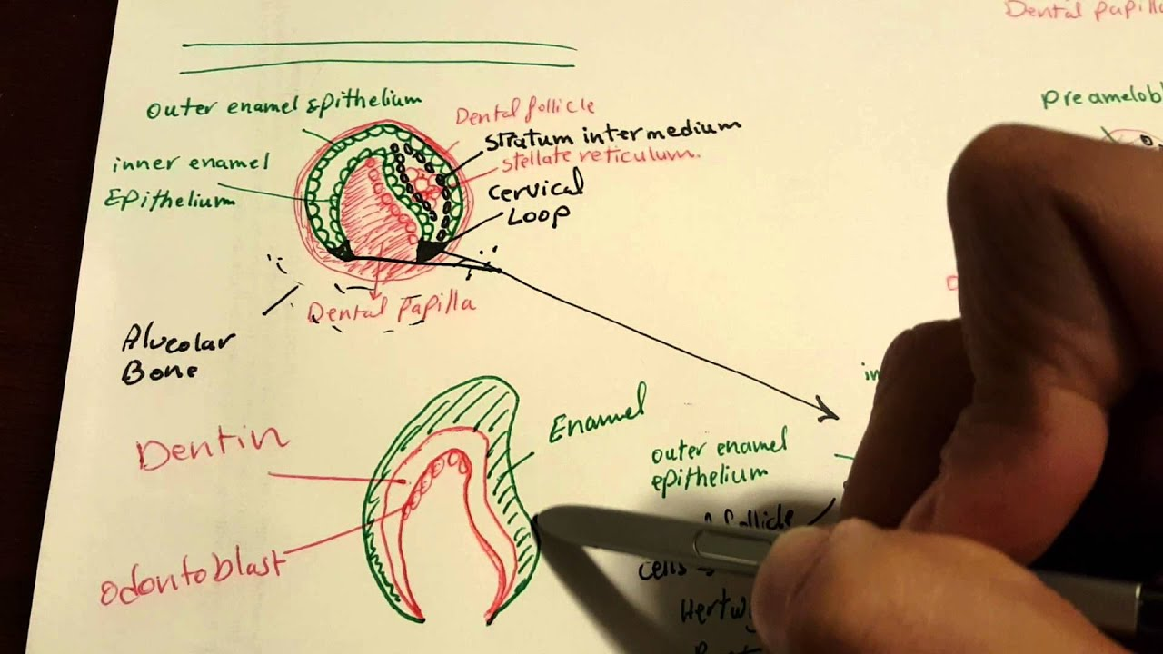 Nbde1 Tooth Formation Development Tooth Embryology Youtube