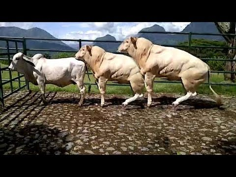 World Modern Technology Cow And Bull Breeding Mating Shoeing Cleaning Milking Mega Machine