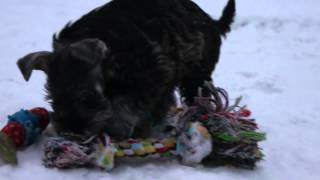 Andalbagat Miniature Schnauzer Puppies 8 Weeks Playing In The Snow, H-litter, Video 2