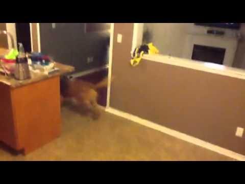 DOGUE DE BORDEAUX!!( French mastiff)