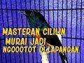 Masteran Murai Full Cililin Bikin Jagoan Jadi Ngotot Di Lapangan  Mp3 - Mp4 Download