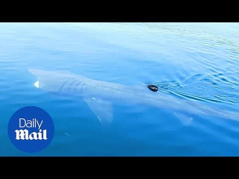 Huge Basking Shark Spotted Off Cornwall During Easter Heatwave