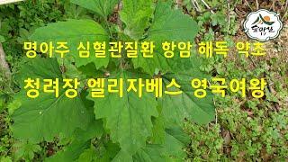 명아주 청려장 본초강목  심혈관질환 항암 해독 염증  …