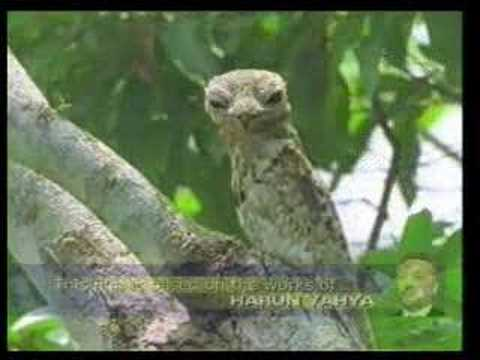 POTOO bird   YouTube POTOO bird