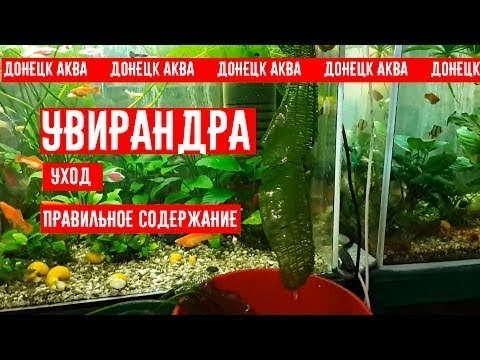 обзор растений, Увирандра Aponogeton Madagascariensis planta de acuario, Aquarium plant