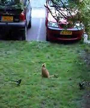 Cat harassed by two magpies