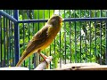 Canary Singing Masteran Kenari Macet Bunyi  Mp3 - Mp4 Download
