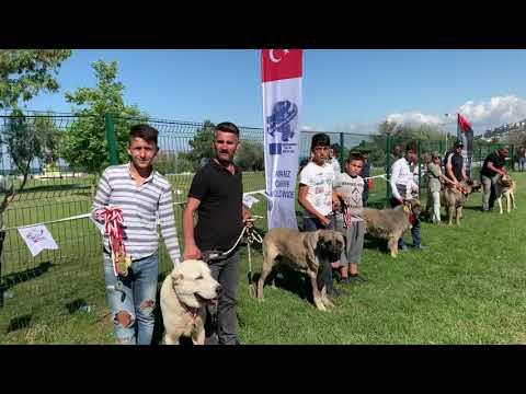 Türkiyenin ACW Dünya Köpek vakfına tescil edilen 5 ayrı çoban Köpeği ırkı