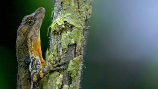 This Costa Rican Lizard Can Mimic a Deep Sea Diver