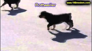 Rottweiler, Puppies, For, Sale, In, West Jordan, Utah, County, Ut, Utah, Davis, Cache, Box Elder, Ir