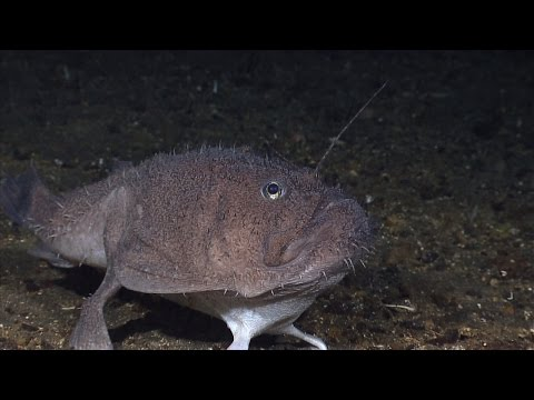 Creatures Of The Deep - Anglerfish