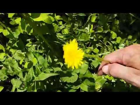 Dandelion (Taraxacum) - Used to Make Wine, Salad & Americana Medicine