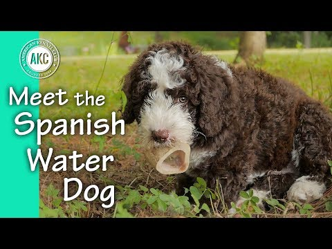 Meet the Spanish Water Dog