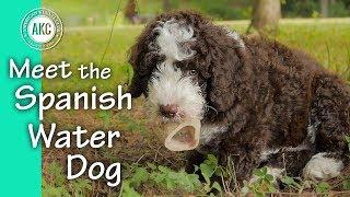 Meet the Spanish Water Dog