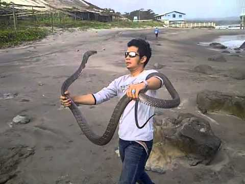 PETUALANGAN PANJI VS KING COBRA