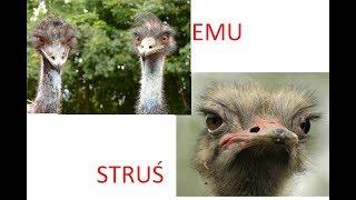 Czym się różni: STRUŚ od EMU