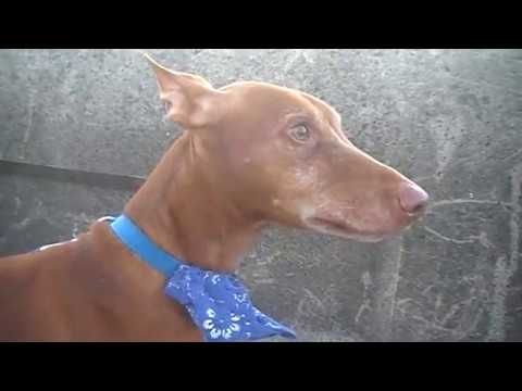 MY DOG CAN SMELL THE GOLD?! Pharaoh Hound Piesek