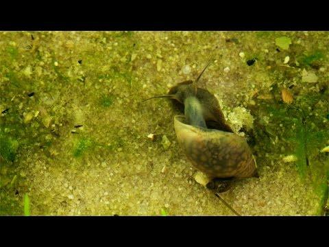 Blasenschnecken / Bladder Snails