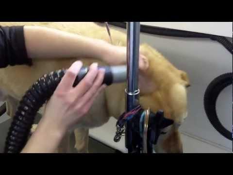 Harley getting De Skunked and full Grooming by The Pet Barber Mobile Grooming Spa