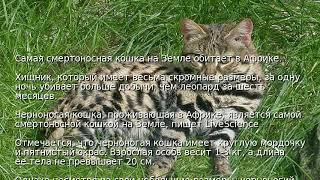 Самая смертоносная кошка на Земле обитает в Африке