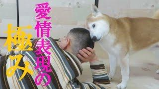 その匂い、その感触…。散髪したての飼い主の頭が好きすぎる柴犬のちゃめ...