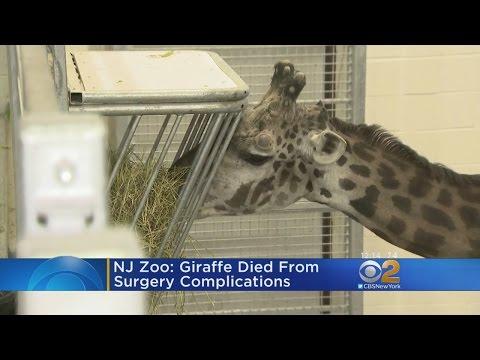 Beloved Giraffe Dies At Turtle Back Zoo
