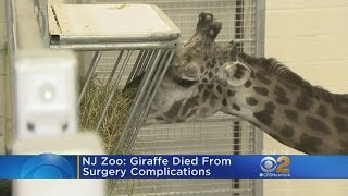 Beloved Giraffe Dies At Turtle Back Zoo