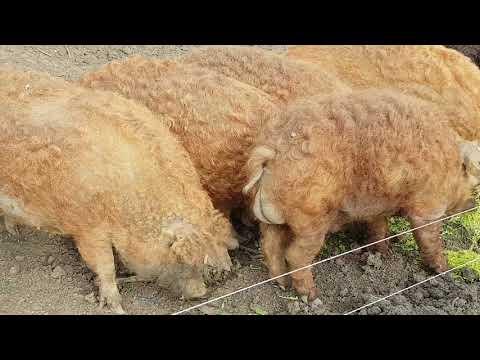 Ferma - Porcul de Mangaliţa
