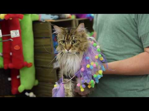 Maine Coon Molly Goes to Petco (1 Year Old)