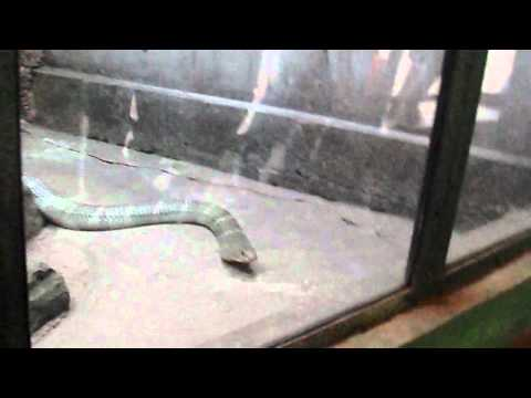 giant king kobra  nandankanan zoological park,bhubaneshwar