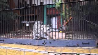 Ленинградский зоопарк. Тренинг хищников 15. Снежный барс