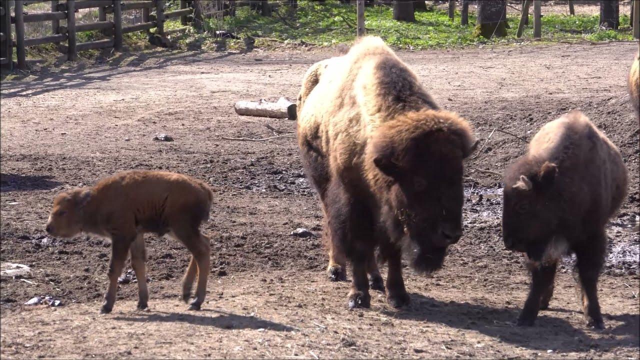 Ameerika piisonite karjas on uus vasikas