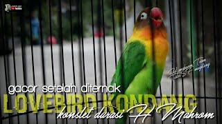 Download lagu PROSES AWALNYA DITERNAK : LOVEBIRD KONDANG JANTAN KONSLET BERDURASI