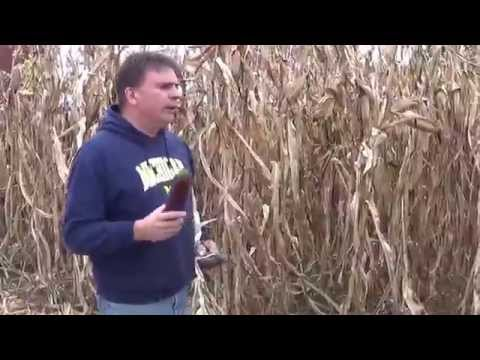 Planting and growing Bloody Butcher corn in Michigan, Part 1