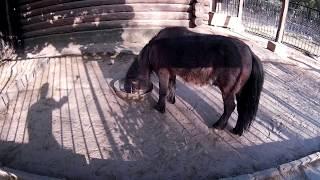 Пони кушает   в зоопарке
