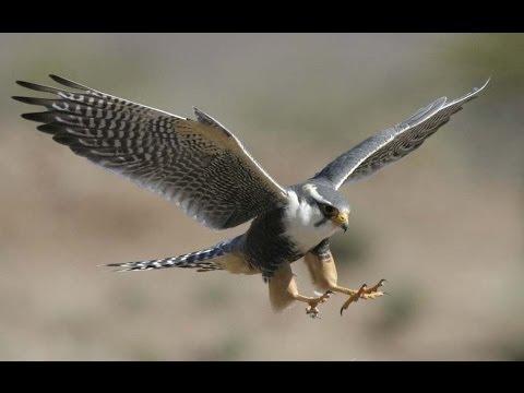 Caccia alla quaglia con il falco, Traditional hunt of Tunisia.