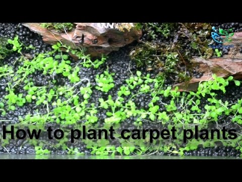 Nice Aquascaping For Beginners : How To Plant Carpet Plants