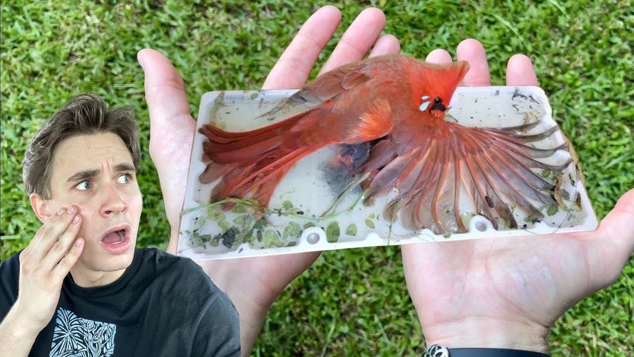 RESCUED ! BABY CARDINAL FOUND STUCK TO DEADLY GLUE TRAP !