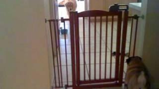 Shayna The Pug Vs. Bailey The Golden Retriever Part 1