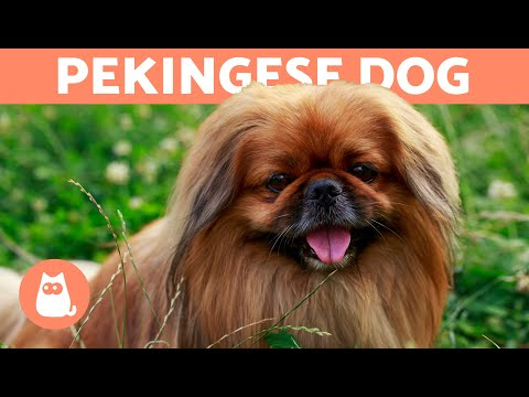 PEKINGESE DOG 🐶 The Longhaired Royal Dog Breed