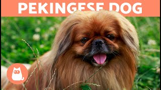 PEKINGESE DOG  The Longhaired Royal Dog Breed