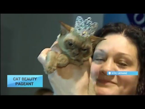 Cat Beauty Pageant: Styled to Purr-fection: Cats showcased at bizarre beauty pageant in Kyiv
