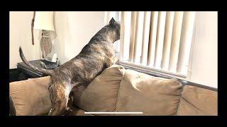 Pitbull Barking Guard Dog !!!