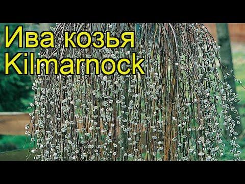 Ива козья Килмарнок. Краткий обзор, описание характеристик salix caprea Kilmarnock
