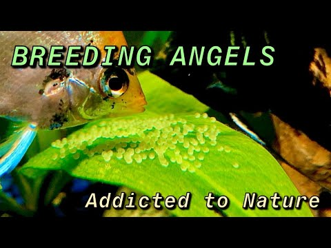 ANGELFISH BREEDING SAGA - Rescuing Eggs And Artificial Incubation